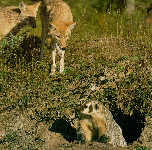 american badger and coyote relationship to dog