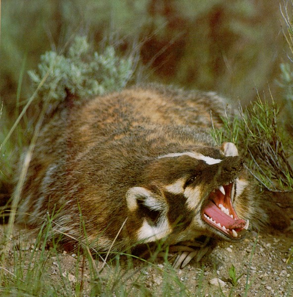 Badgers hate you and want your family to die